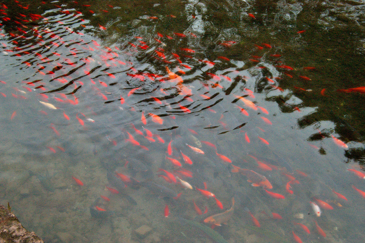 20080927_1827 Fish in the canals of Lijiang old town. Next to the waterwheel, we saw some-one catch a gold fish with a pot!
