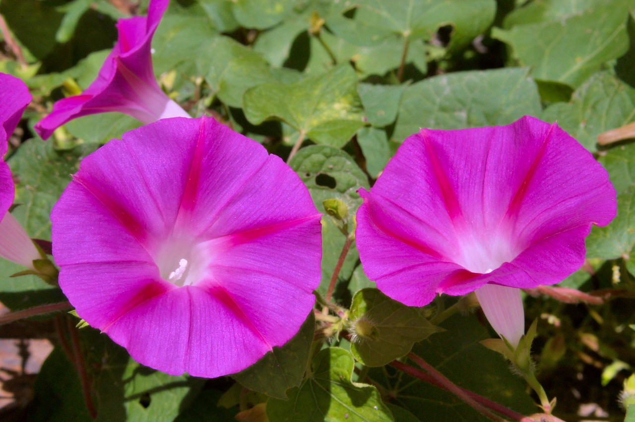 20080930_1941 Morning Glories on the road (not on the 'low path'. My camera-phone date-stamped photos with China time. My SLR camera date-stamped photos in Australian Eastern Standard Time, not including daylight saving...)