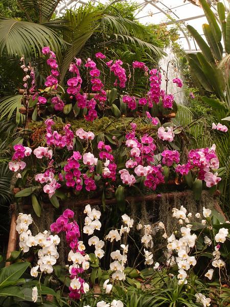 20120513_1449_0426 orchids, Beijing Botanical Garden glasshouse