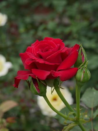 20180417_1518_5033 rose