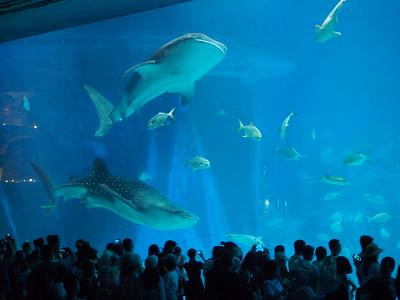 20191001_1353_626 whale sharks
