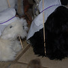 """""""Thistle"""" and """"Tartan"""" (Scottie dogs)  as shepherds in the Creature Christmas, 2008"""