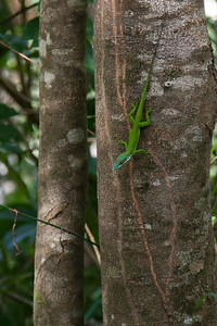 An Anloe on a tree - he can change colors like a chameleon, but he's more closely related to an iguana.