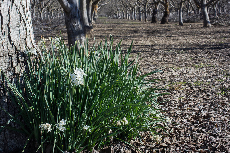 2013_01_21_orchard_narcissus_009