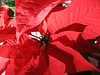 Our office poinsettia survived the holidays.