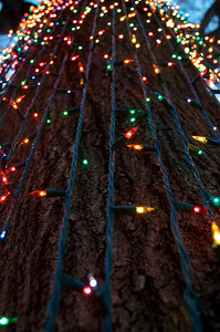 Lights climbing Oak Tree
