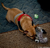 Jasper will destroy a toy in a matter of minutes. So when Santa brought the new baby I figured I would take a picture before Jasper gets to know it very well and the toy is destroyed. Day 359 (2010.12.25) @sharkbayte