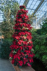 D328-2017<br /> Poinsettias;  Painsettia tree in the Temperate House.<br /> Some kind of poinsettia tree always stands just in front of the koi tank, though the colors of the plants varies from year to year.<br /> <br /> Christmas decorations in the Conservatory<br /> Matthaei Botanical Gardens, Ann Arbor<br /> Taken November 24, 2017
