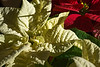 Home Christmas decoration - poinsettias