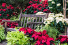 Holidays at Matthaei Botanical Gardens; poinsettias