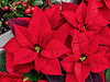 A day late - Belated Happy Poinsettia Day!