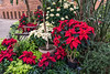Holiday display; poinsettias