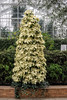 Holidays at Matthaei Botanical Gardens; poinsettia tree 2014