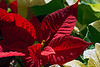 D358-2013  Poinsettias<br /> <br /> December 24, 2013