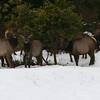 The elk herd across the street from Julie's house.