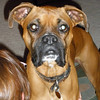 Jaeger - the friendly Boxer - watch dog