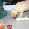 Louie got a new bone from santa