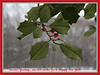 "My Greeting Card to all of you.<br /> <br /> Showing a branch of an American holly tree, Ilex opaca, growing in Toledo, Ohio (far north of where it has any right to be growing, so a fitting symbol of hope, I think!)<br /> <br />  <a href=""http://forestry.about.com/library/silvics/blsilileopa.htm"">http://forestry.about.com/library/silvics/blsilileopa.htm</a>"