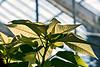D341-2013  Poinsettia<br /> <br /> Matthaei Botanical Gardens Conservatory<br /> December 7, 2013