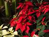 D337-2014  Poinsettias at the Conservatory<br /> <br /> Matthaei Botanical Gardens, Ann Arbor<br /> December 3, 2014