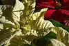 D358-2013  Poinsettias<br /> <br /> December 24, 2013