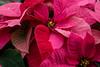 Pink Poinsettias
