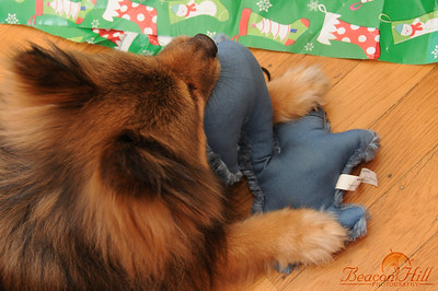 Even Tetley got a Christmas present, a fluffy blue squirrel which has since become his favorite toy by far.