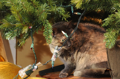 Rocket loves Christmas, because she can hide underneath the Christmas tree.