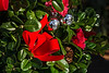 D358-2013  Boxwood tree with Christmas decorations<br /> <br /> December 24, 2013