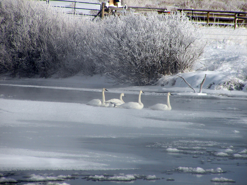Trumpeter Swans on the the Teton River.