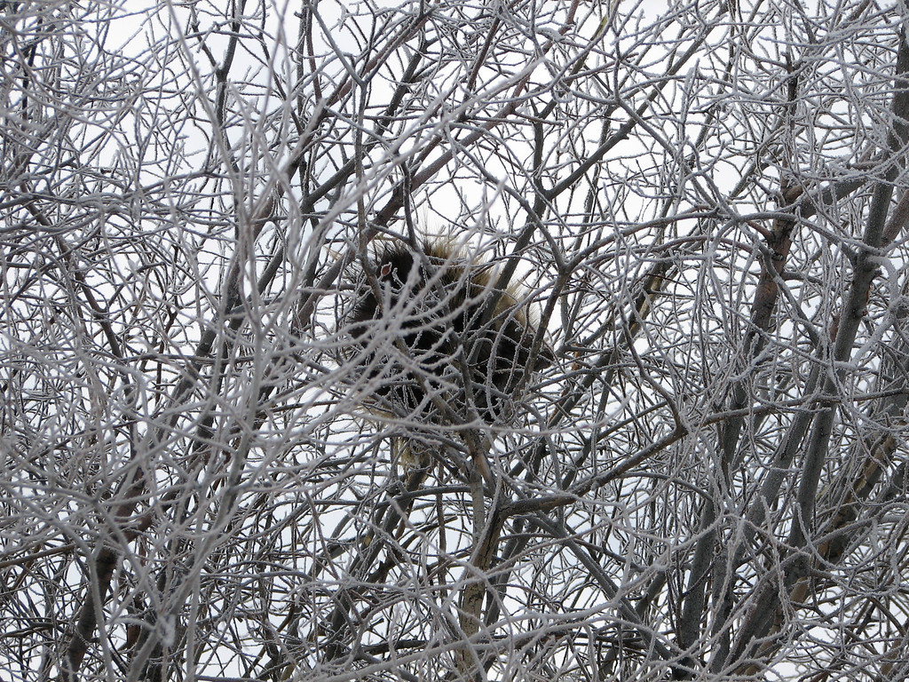 That's a young porcupine in the tree. Hard fella to get a picture of.