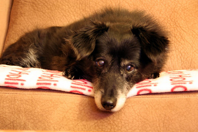 Mitch resting on his holiday blanket. 2010