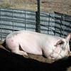 Laying Pig
