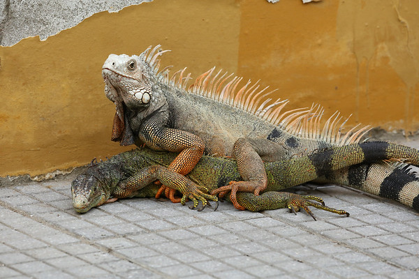Iguanas can be seen in Parque Del Centenario. They are aggressive and will use any chance to attack each other.