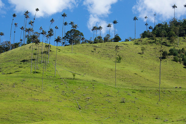 Cocora Valley  is home to the wax palms which grow up to 60m and are the tallest palm trees in the world.