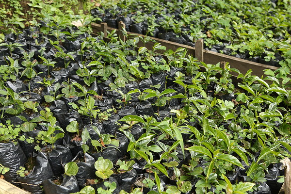 Colombia is one of the major coffee producers. The coffee plants here are waiting to be planted.