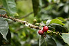 Coffee beans don't ripe at the same time on one plant and they need to be harvested in stages.