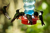 Hummingbirds are the smallest birds, measuring at most 13cm. <br /> <br /> They are able to fly very fast, with top speeds over 50 Km/h. While flying, the heart rate exceeds 1,000 beats per minute and need to rest very often.