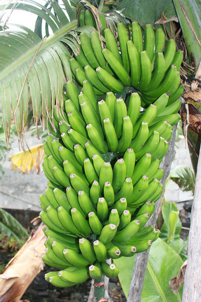 Contrary to popular myth, bananas don't grow on trees, instead they grow on a kind of herb or plant, which continually renews itself, i.e. at the end of a season, the plant gets chopped down and a new one grows up just to the side of where the previous one was.