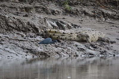 American crocodile and blue heron