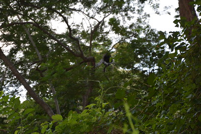 Howler Monkey on a very windy morning