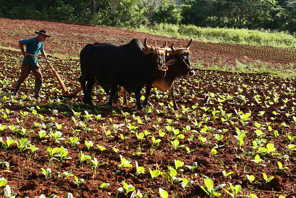 All agriculture is done manually. This is a tobacco field.
