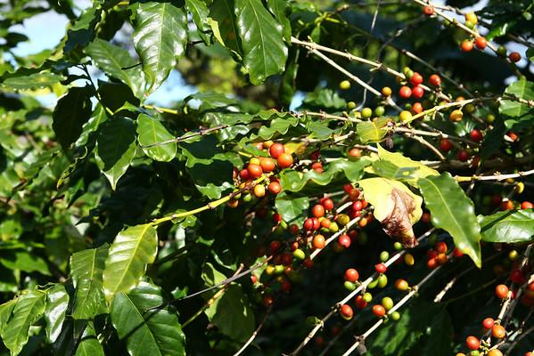 Coffee beans.