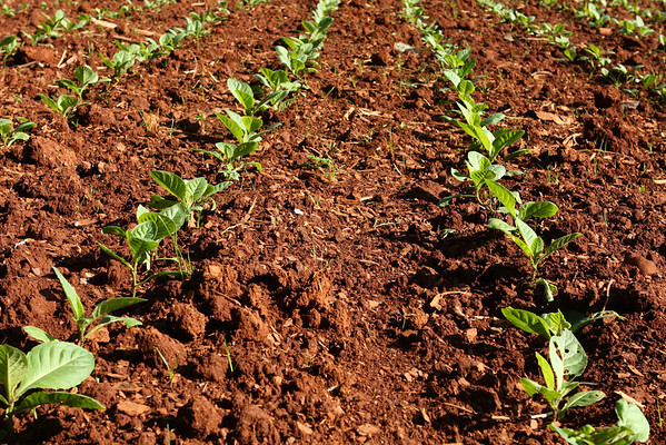 Same tobacco field.
