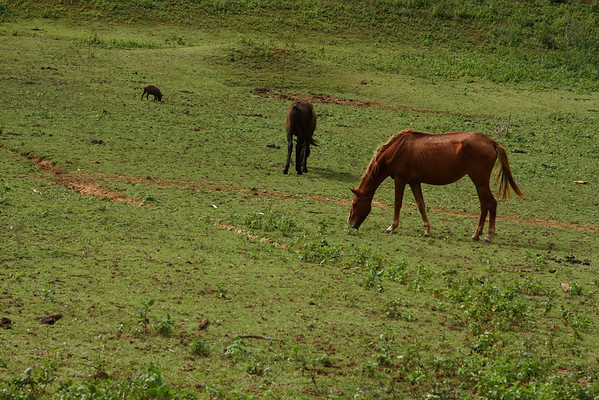 Horses and pigs feeding together.