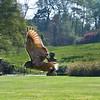 18 Barn owl