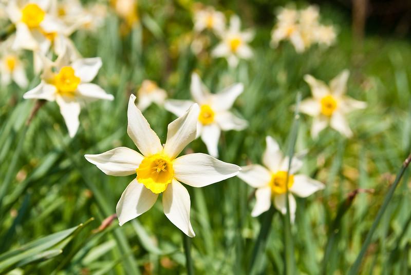 01 Daffodils