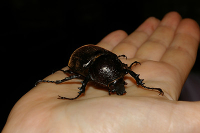 Female rhino beetle