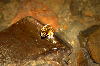 spotted torrent frog