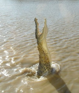 Younger crocodiles were more energetic in jumping for the meat.
